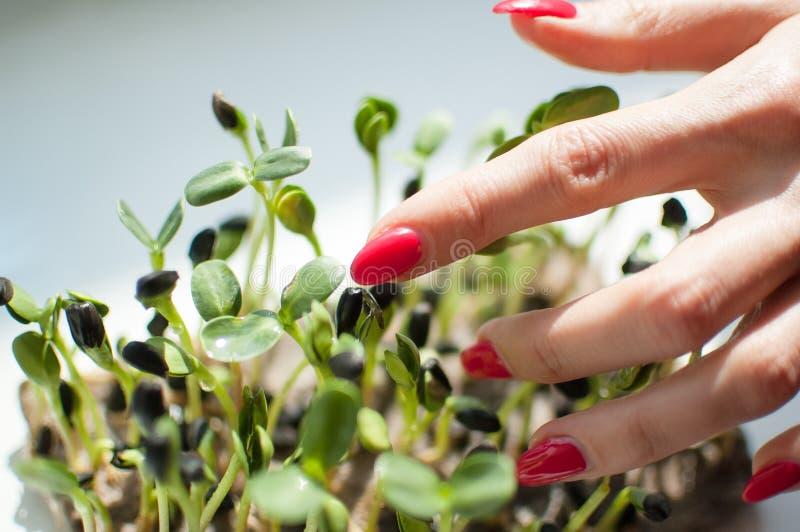 De vrouwelijke hand met rode manicure raakt verse en ruwe spruiten van zonnebloem Gezond voedsel, microgreens thuis bewerkend royalty-vrije stock afbeelding