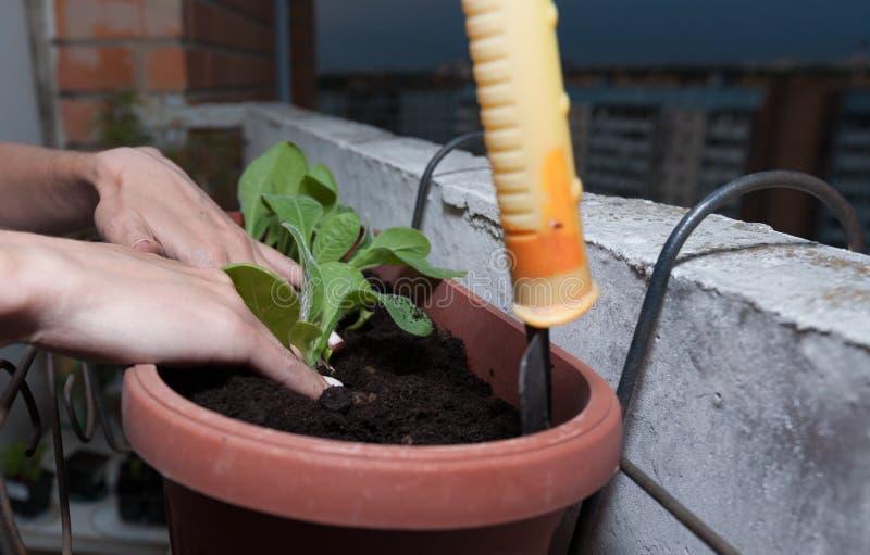 de vrouwelijke handen planten bloemen in de pot met aarde op het balkon stock fotografie