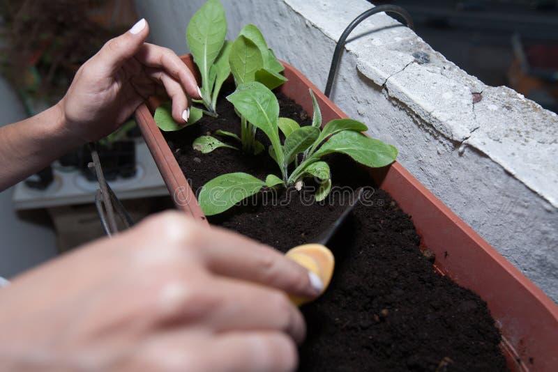 de vrouwelijke handen planten bloemen in de pot met grond op het balkon stock afbeeldingen