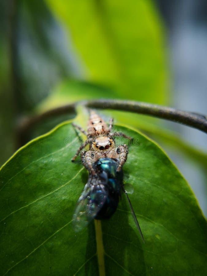De vrouwelijke het springen spin, Latijnse naamsalticidae ving prooi, een bromvliegvlieg die groter dan haar grootte stock foto's
