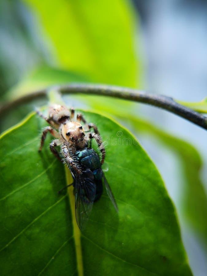 De vrouwelijke het springen spin, Latijnse naamsalticidae ving prooi, een bromvliegvlieg die groter dan haar grootte royalty-vrije stock foto's