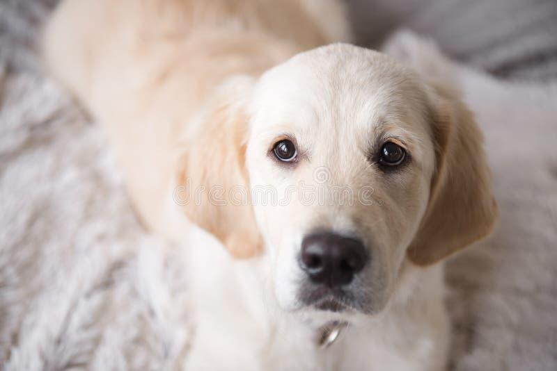 De vrouwelijke hond van het golden retrieverpuppy met het houden van van ogen royalty-vrije stock fotografie