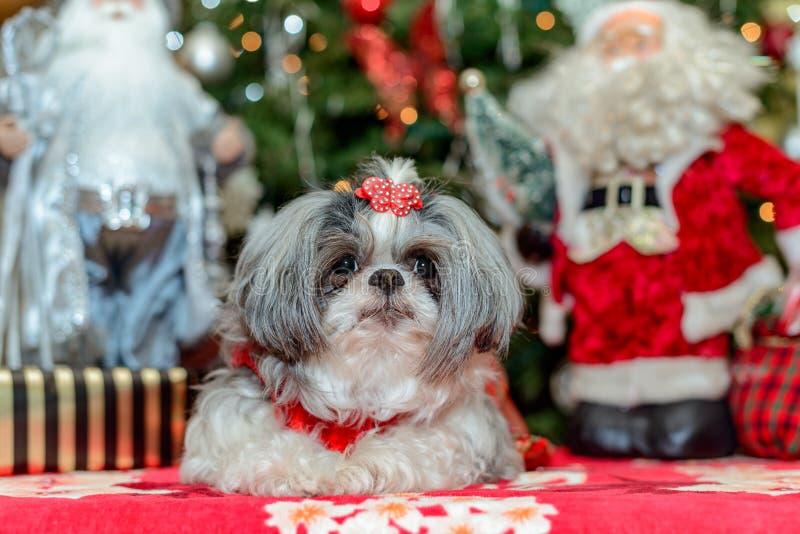 De vrouwelijke hond van Shih Tzu royalty-vrije stock foto's