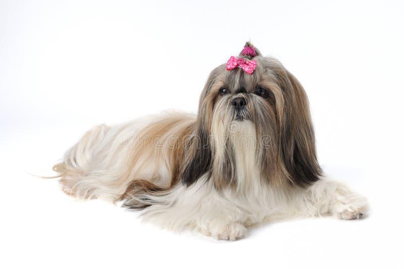 De vrouwelijke hond van Shih Tzu royalty-vrije stock fotografie