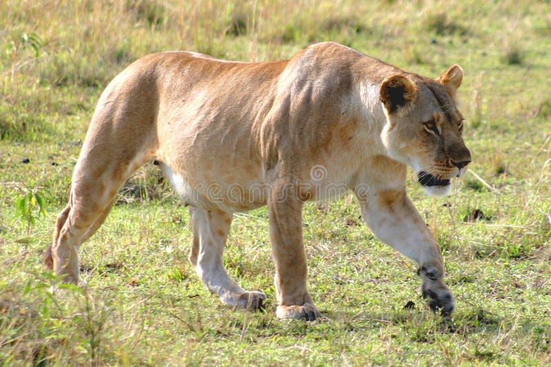 De vrouwelijke Jacht van de Leeuw royalty-vrije stock afbeelding