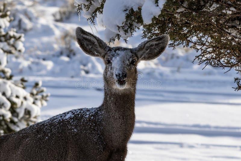 De vrouwelijke Kaibab-herten die van de hertenmuilezel in de winter voeden Open mond, bekijkend camera, sneeuw op zijn gezicht stock fotografie