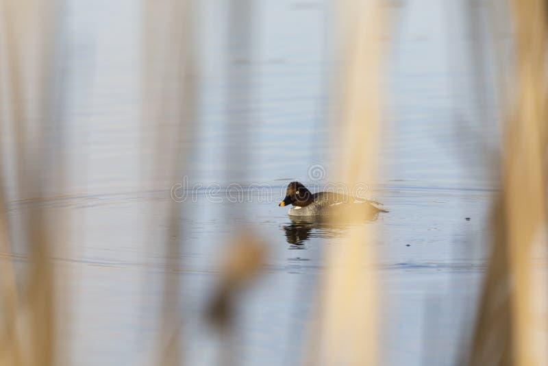 De vrouwelijke Kruiwagen goldeneye zwemt in een meer royalty-vrije stock foto's