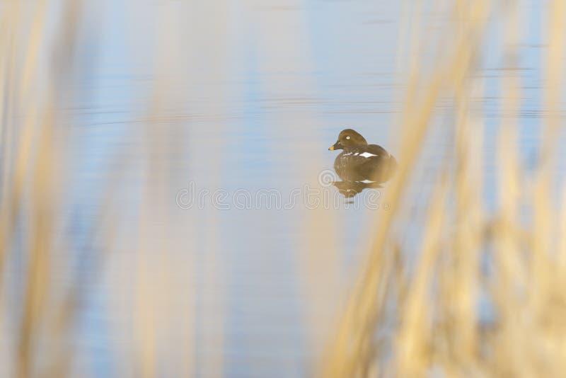De vrouwelijke Kruiwagen goldeneye zwemt in een meer stock foto