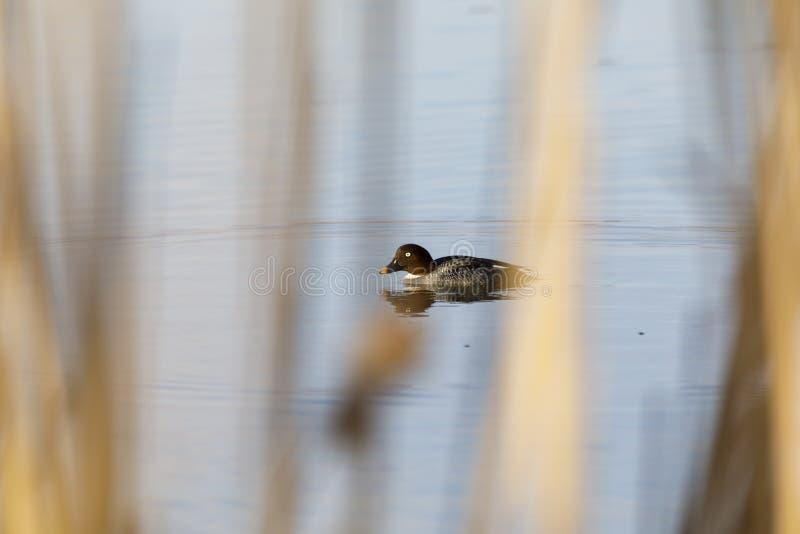 De vrouwelijke Kruiwagen goldeneye zwemt in een meer stock afbeelding