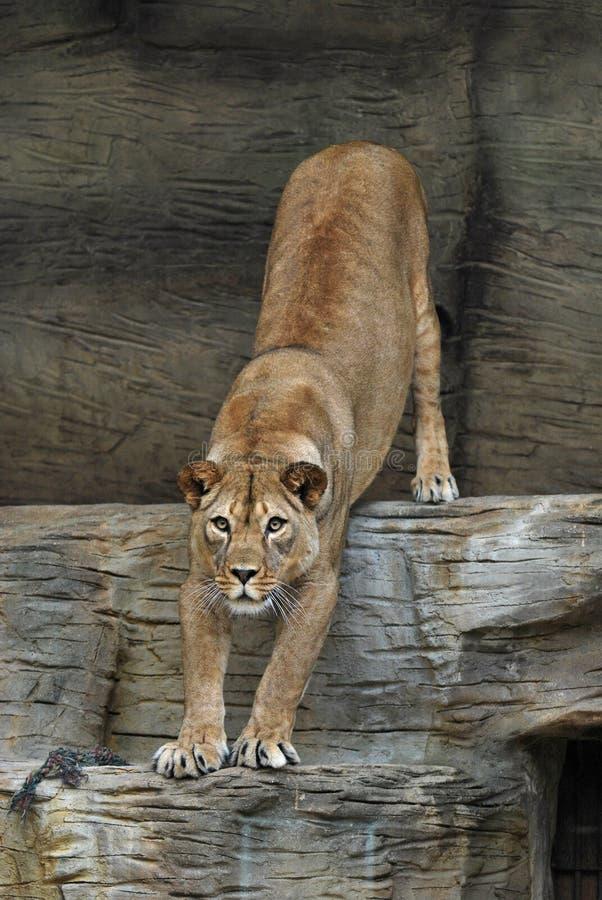 De vrouwelijke leeuw van Barbarije royalty-vrije stock foto's