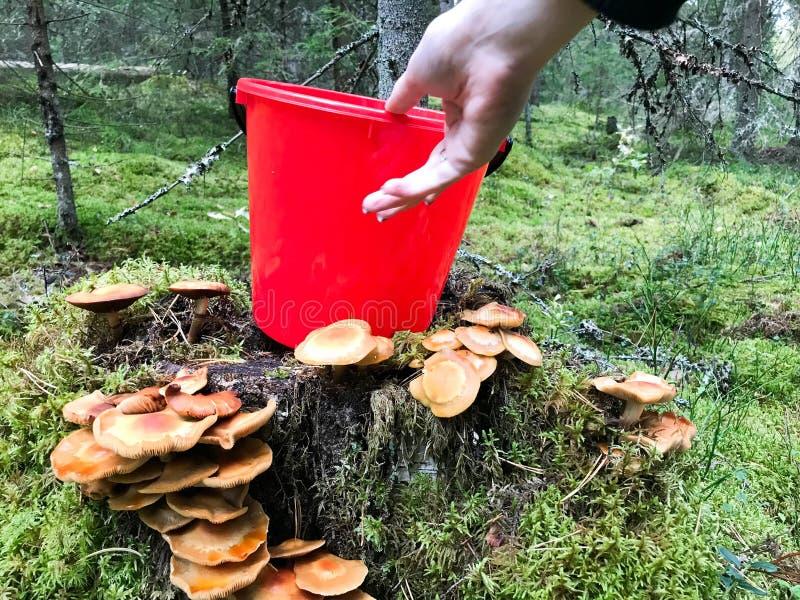 De vrouwelijke mooie hand neemt een plastic rode emmer van de stomp met veel heerlijke eetbare paddestoelen in het bos royalty-vrije stock foto