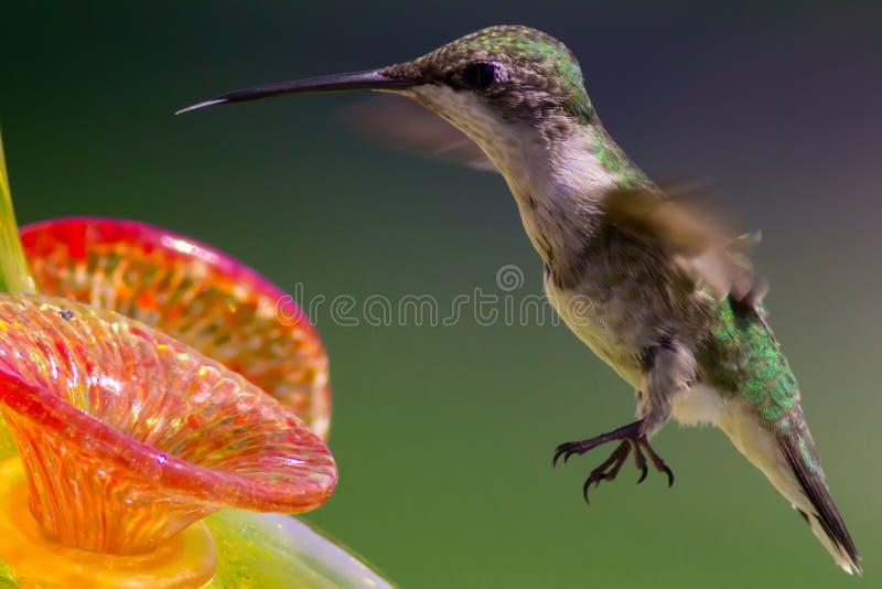 De vrouwelijke robijn throated kolibrie plakt uit haar tong bij de voeder stock afbeeldingen