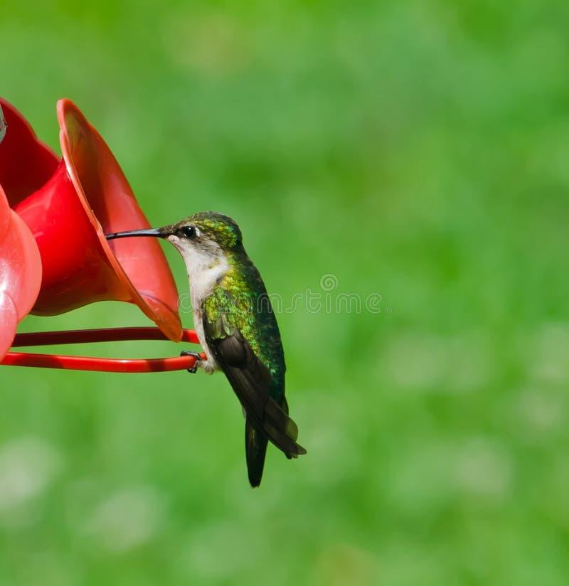 De vrouwelijke robijn throated kolibrie stock afbeelding