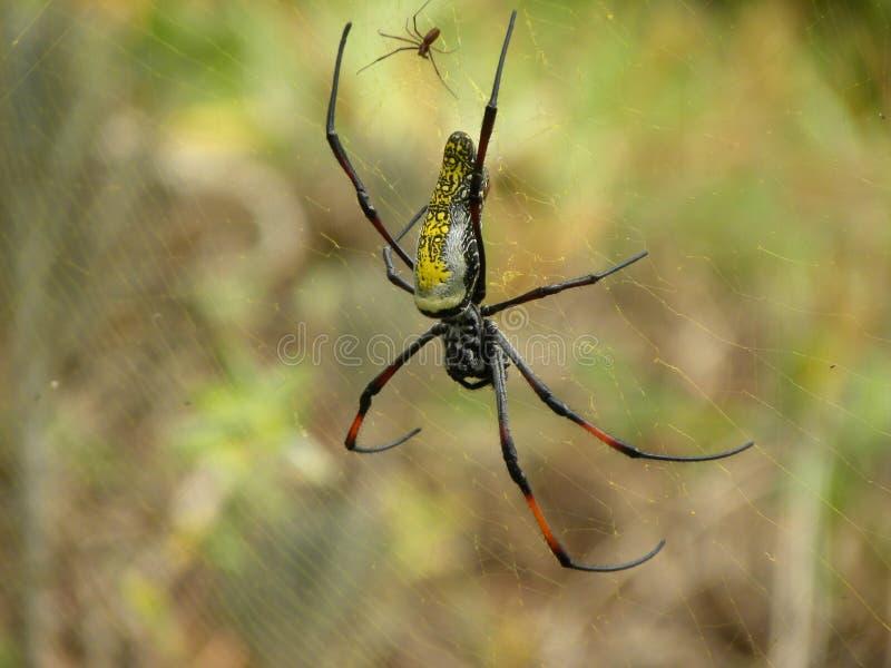 De vrouwelijke spin van Argiope op het canvas met het mannetje royalty-vrije stock foto's