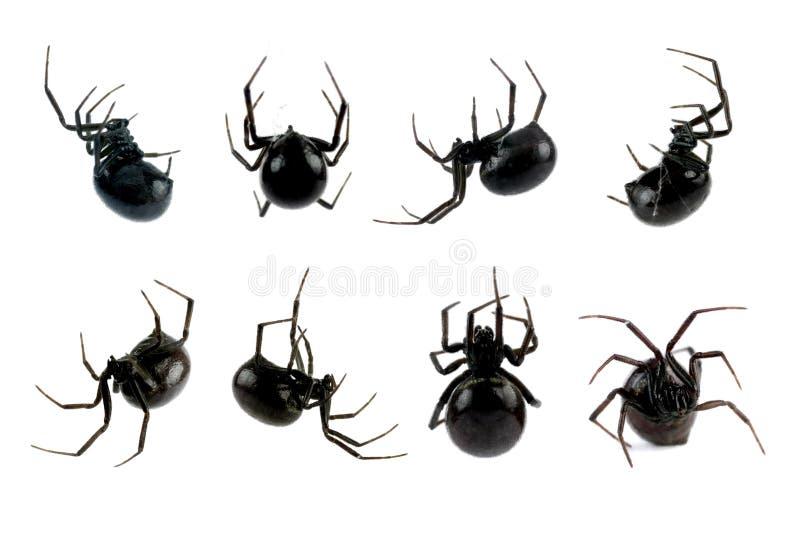 De vrouwelijke Spin van de Zwarte weduwe royalty-vrije stock afbeeldingen