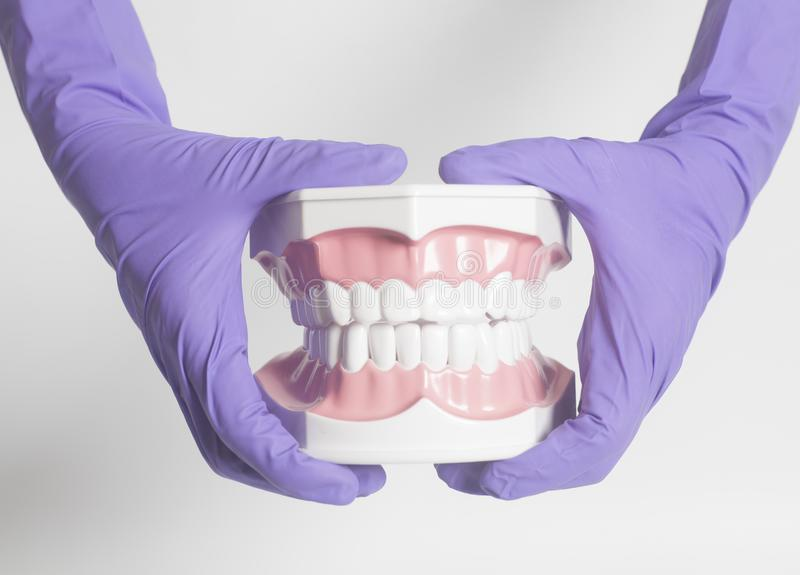 De vrouwelijke tandarts dient medische purpere handschoenen in houdend tandenmodel royalty-vrije stock fotografie