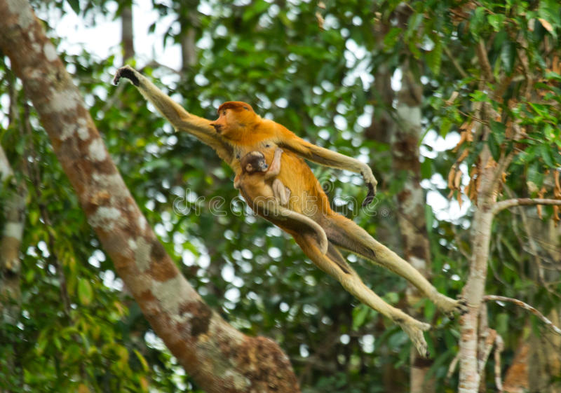 De vrouwelijke zuigorganenaap met een baby van het springen van boom aan boom in de wildernis indonesië Het Eiland Borneo Kaliman stock fotografie