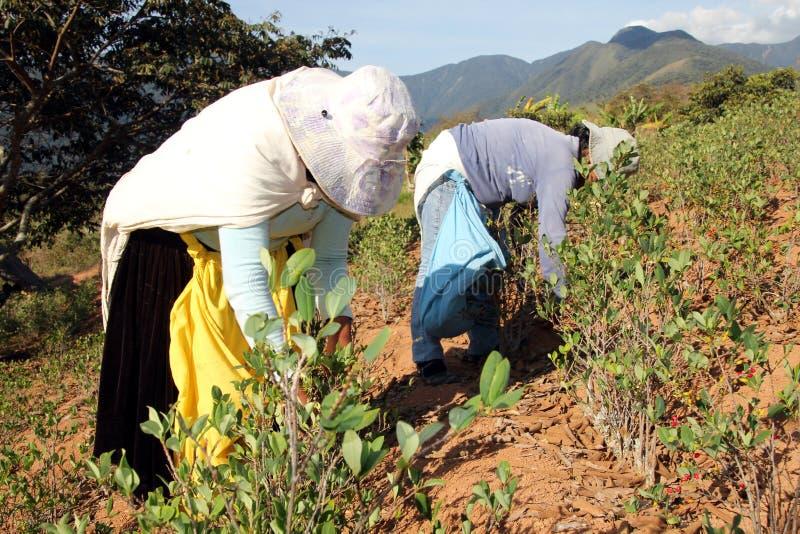 De vrouwen die van het slepen de bladeren van de Coca in Bolivië oogsten royalty-vrije stock fotografie