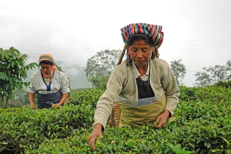 De vrouwen plukken thee doorbladert, Darjeeling, India royalty-vrije stock afbeeldingen