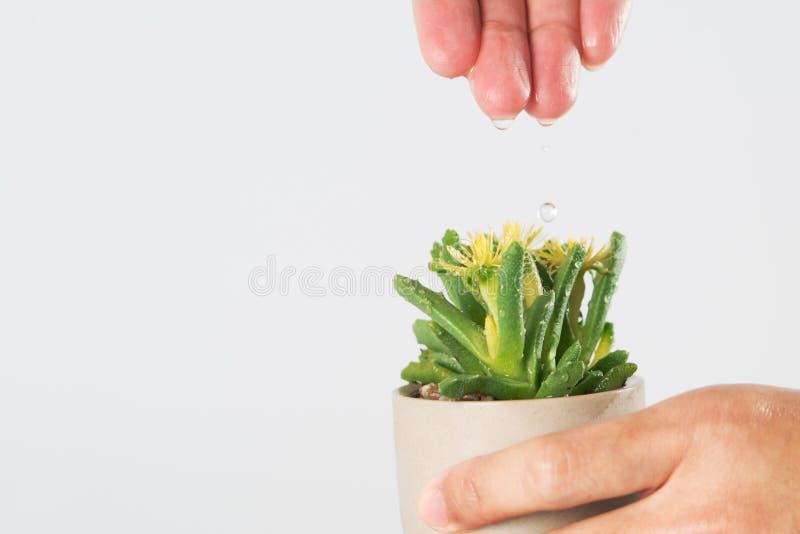 De vrouwenhand laat vallen het water aan de kleine boom/cactus, water voor het leven, de dagconcept van het wereldwater met exemp stock foto