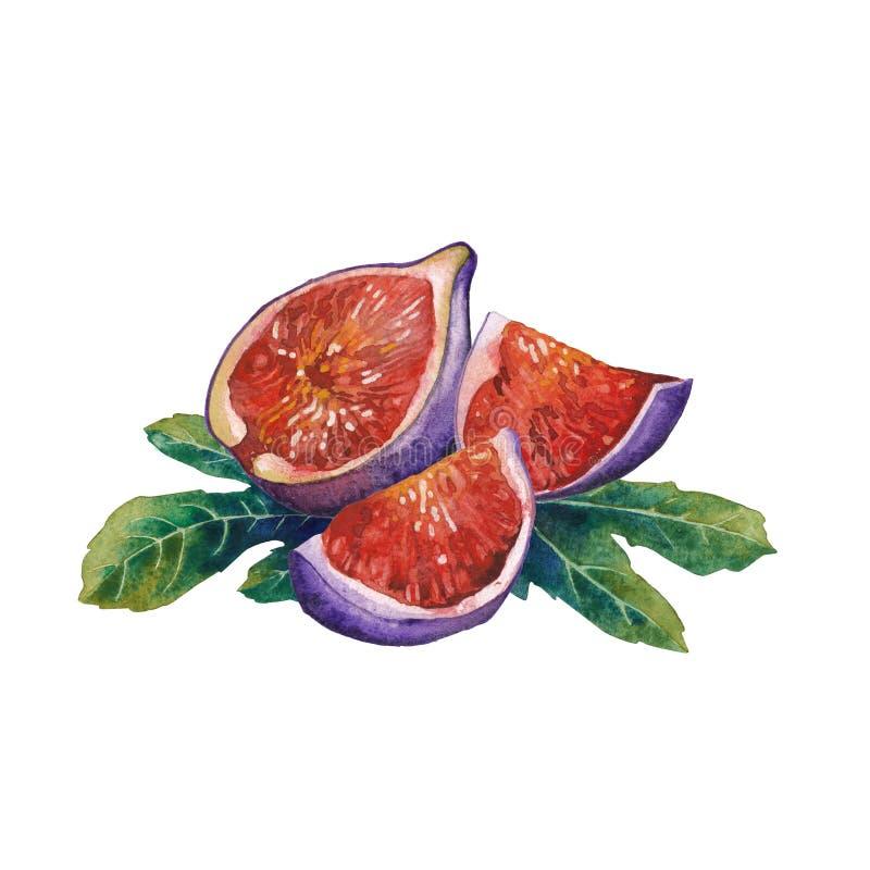 De vruchten en de bladeren van waterverffig. op witte achtergrond worden geïsoleerd die vector illustratie