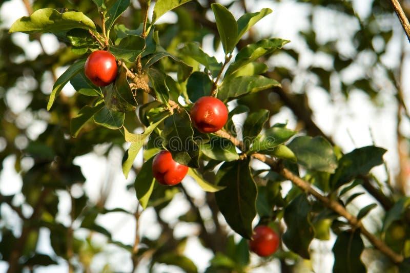 De vruchten van Acerola in boom royalty-vrije stock fotografie