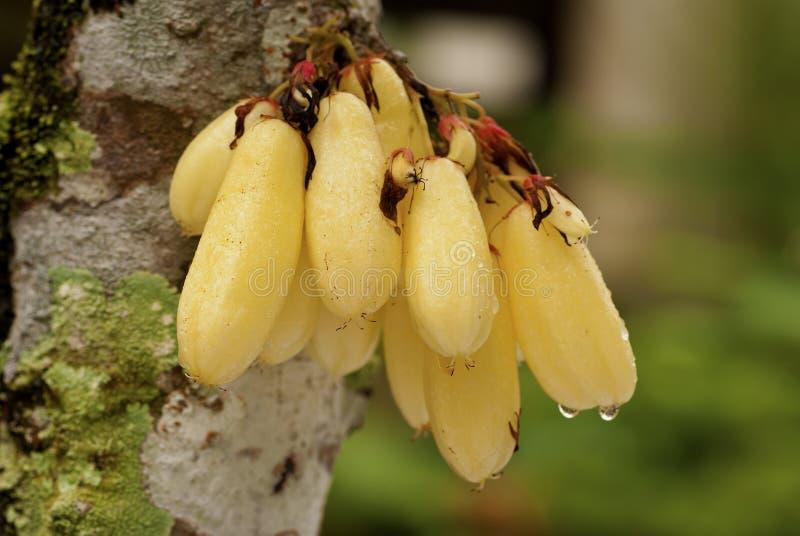 De Vruchten van Belimbing - bilimbi Averrhoa royalty-vrije stock afbeelding