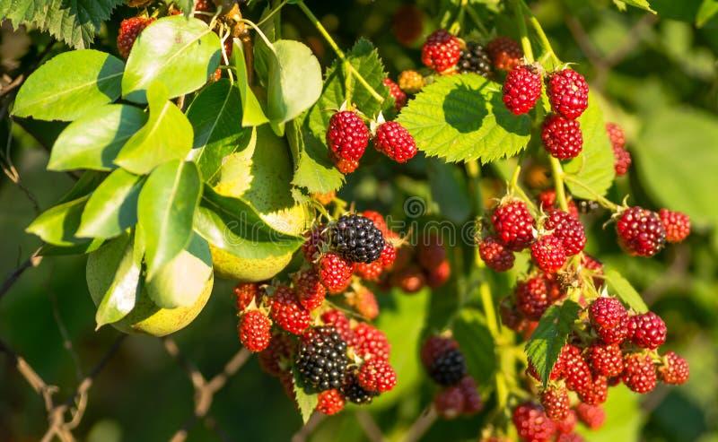 De vruchten van braambessen op een geweven draad schermen stock foto's