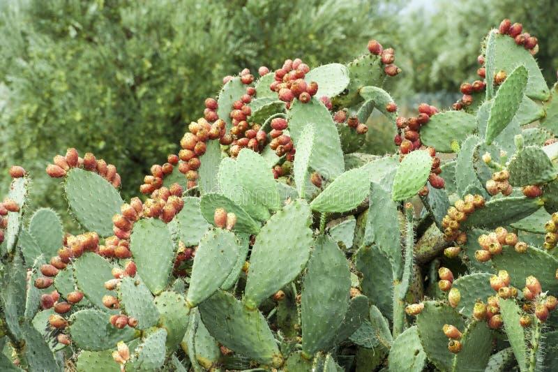 De vruchten van de cactus stock foto