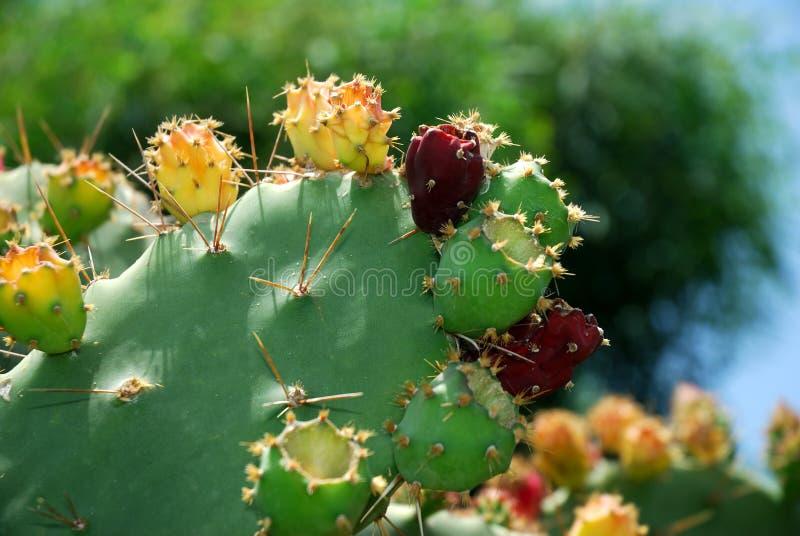 De vruchten van de cactus royalty-vrije stock afbeeldingen