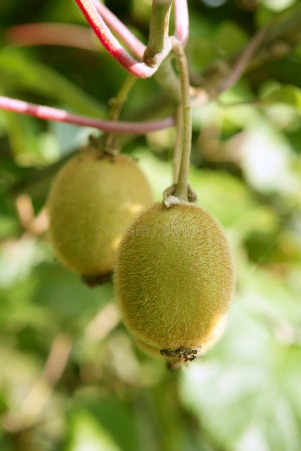 De vruchten van de kiwi in het boom macrodetail stock afbeeldingen