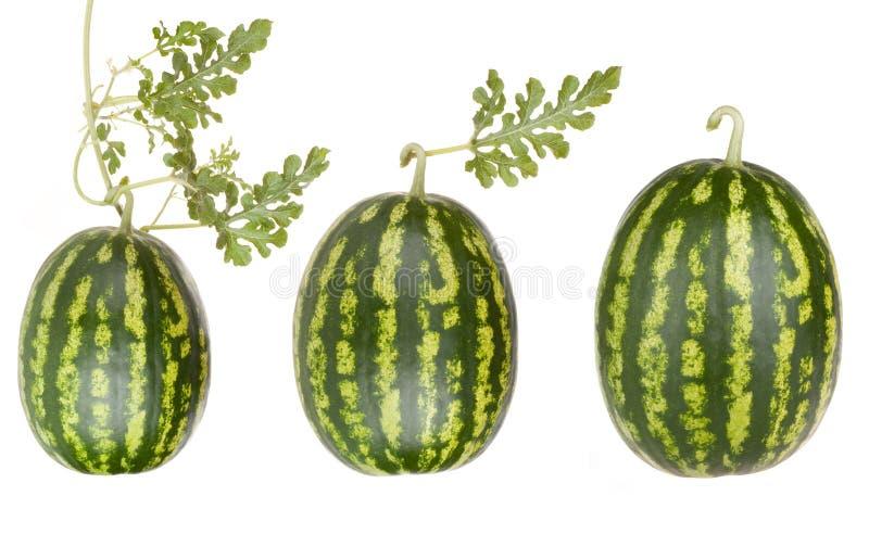 De vruchten van de watermeloen met doorbladeren stock fotografie