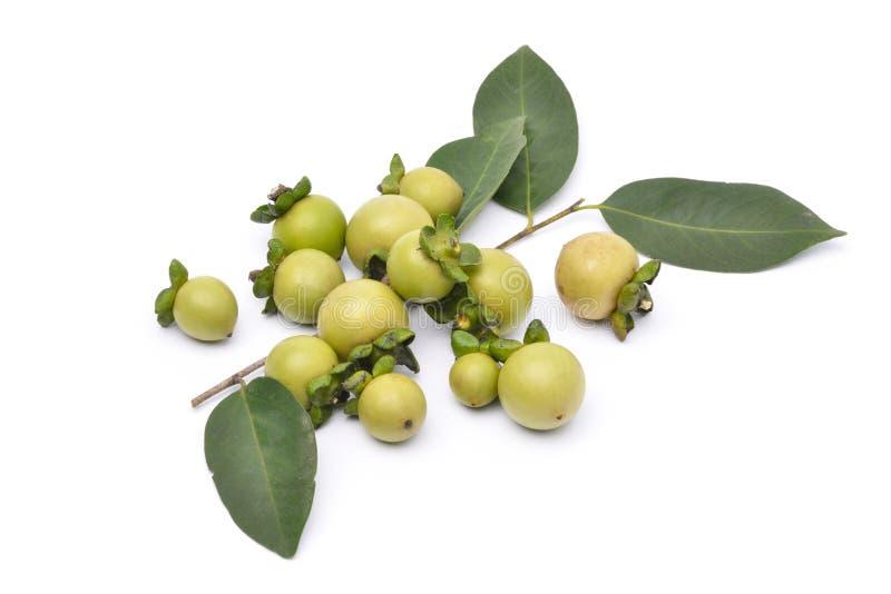 De vruchten van Diospyrosmollis stock fotografie