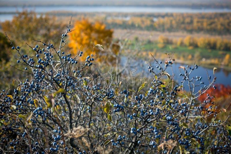 De vruchten van de doorn in de voorgrond De rijkelijke oogstherfst, heldere zonnige dag door de rivier stock fotografie