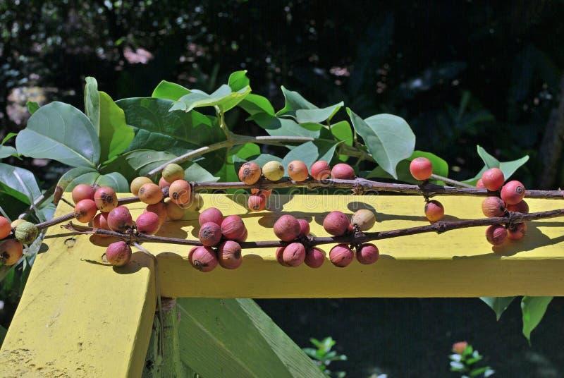 De vruchten van een koffieboom stock foto's