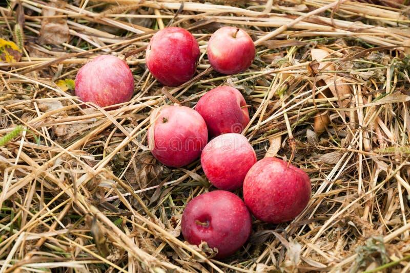 De vruchten van de de herfstaard oogst in boomgaard, verse groenteappelen stock fotografie
