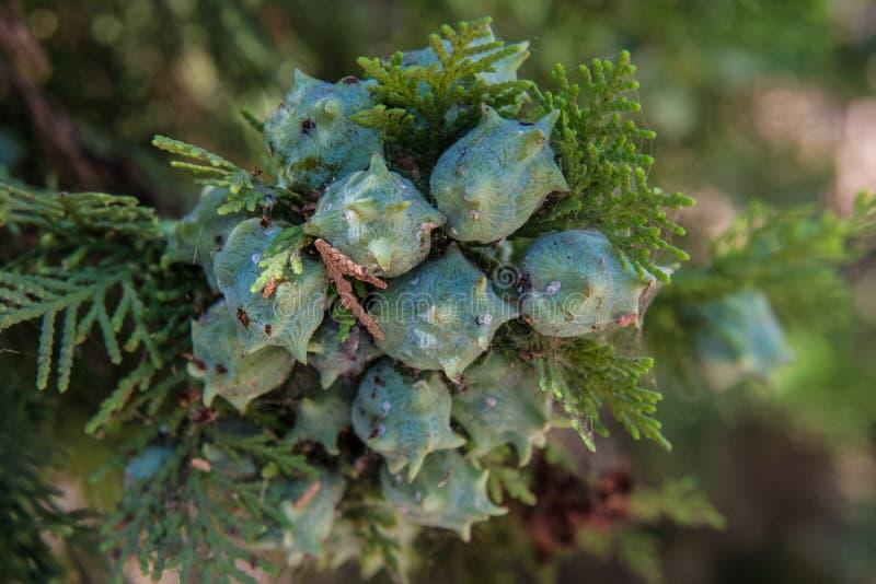 De vruchten van Tujaorientalis stock foto's