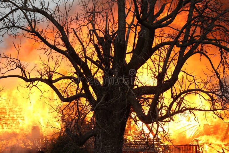 De vurige Eiken Boom stock afbeeldingen