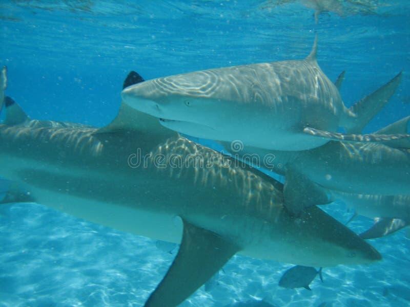 De Waanzin van de haai stock afbeeldingen