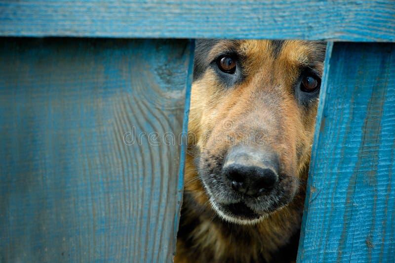 De wacht van het de hondhuis van de Duitse herder royalty-vrije stock afbeeldingen