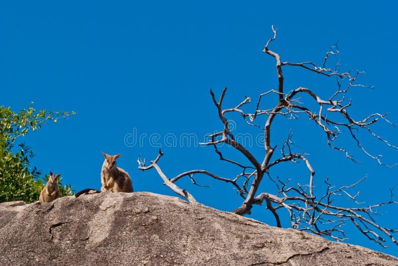 De wallaby van de rots, Magnetisch Eiland, Australië stock afbeeldingen