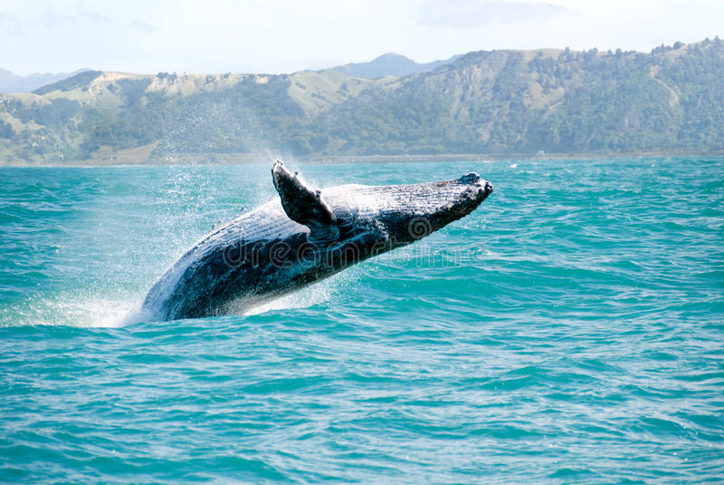 De Walvis die van de gebochelde uit het Water springt stock foto
