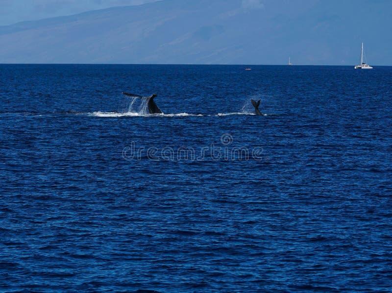 De walvis die van het moedergebochelde haar baby onderwijzen stock foto