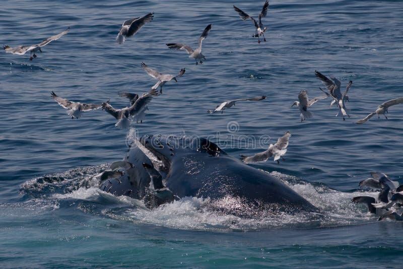 Van gebocheldewalvis/Megaptera novae stock foto