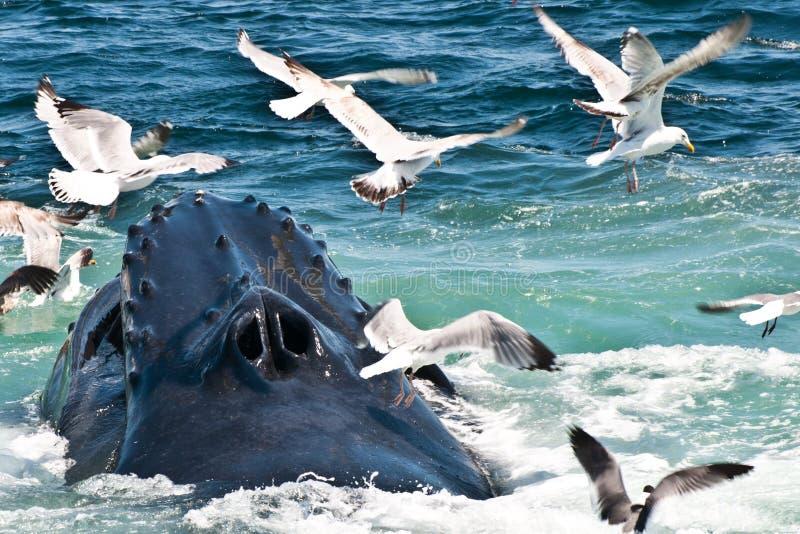 De Walvis van de gebochelde (novaeangliae Megaptera) royalty-vrije stock afbeelding