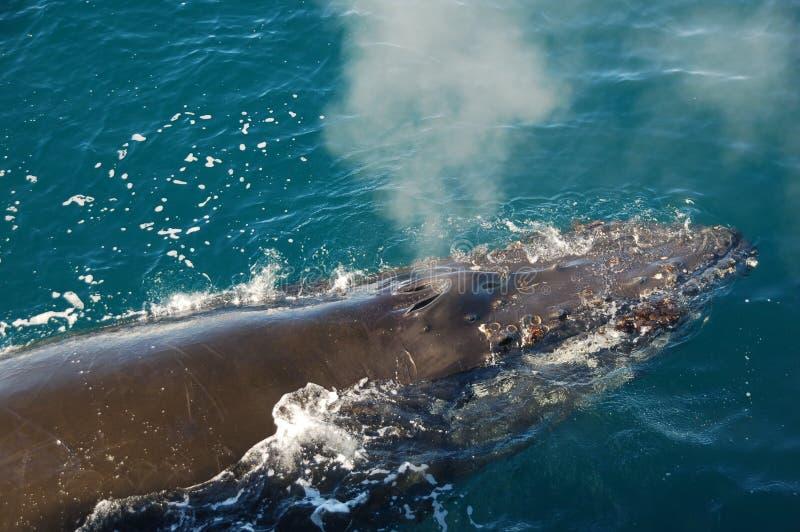 De walvis van de slaap royalty-vrije stock afbeelding