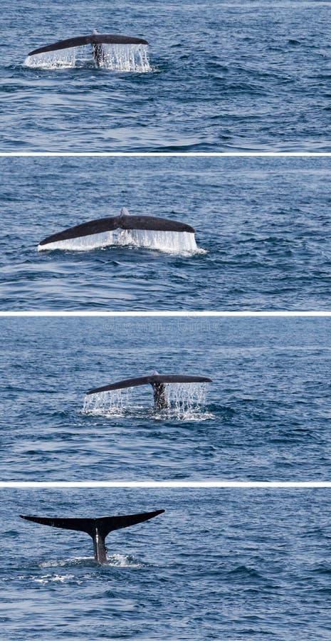 De de walvisbot van het staartgebochelde duikt omhoog stock afbeelding