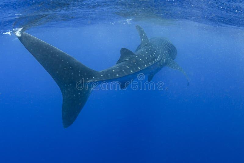 De walvishaai zwemt langs met Zijn Massief Verhaal stock fotografie