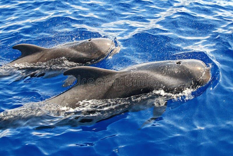 De walvissen Globicephala melas stock fotografie