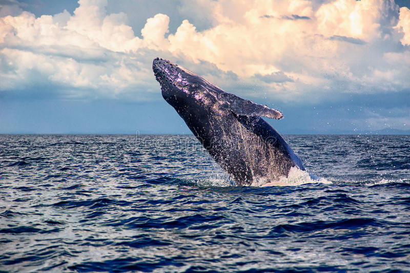 De Walvissprong van het babygebochelde royalty-vrije stock foto's
